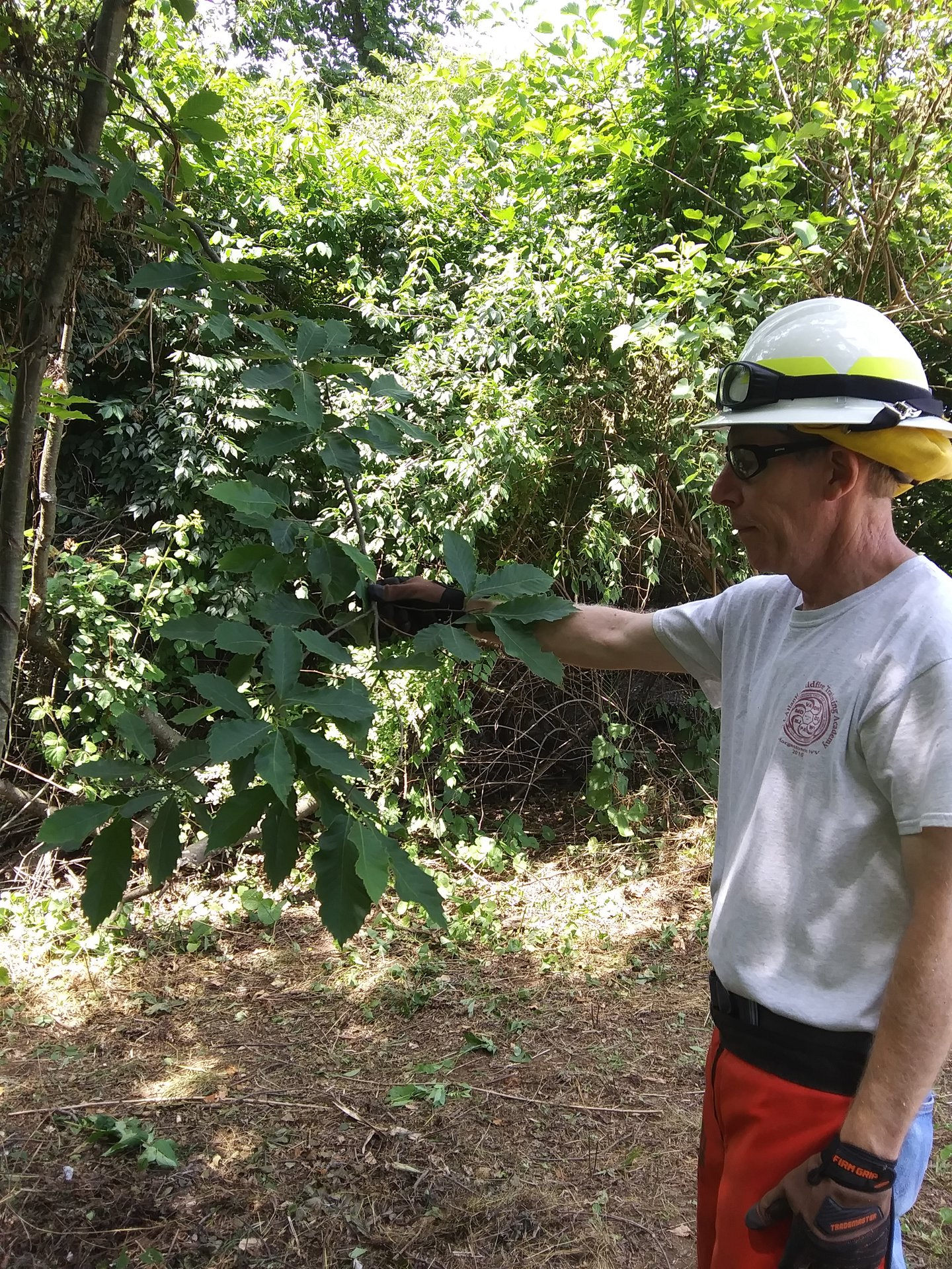 Volunteer Ric finds an American Chestnut